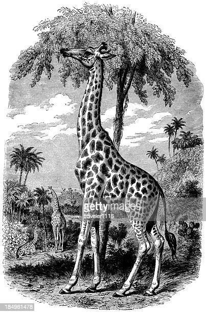 ilustraciones, imágenes clip art, dibujos animados e iconos de stock de jirafas - fauna silvestre