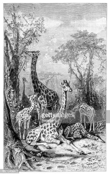 Giraffes in natural environment