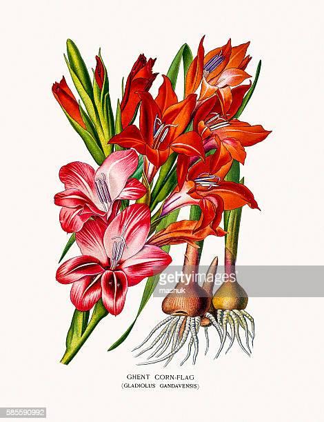 gladiolus flower - bromeliaceae stock illustrations