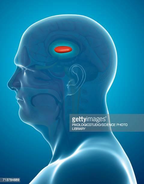 ilustrações de stock, clip art, desenhos animados e ícones de globus pallidus in the brain, illustration - sistema nervoso central