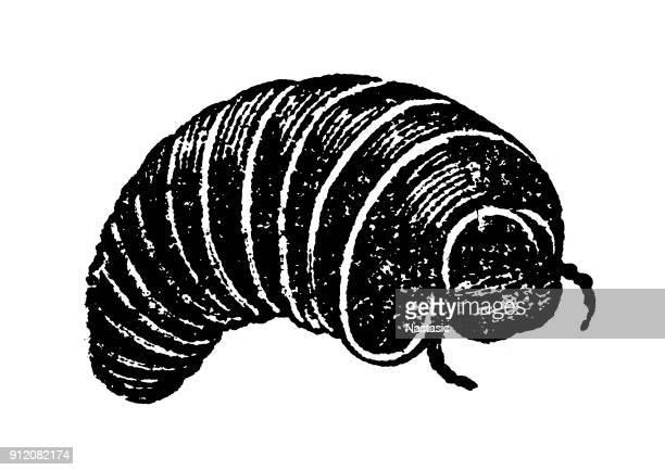 ilustrações de stock, clip art, desenhos animados e ícones de glomeris marginata | bordered pill millipede - centopeia