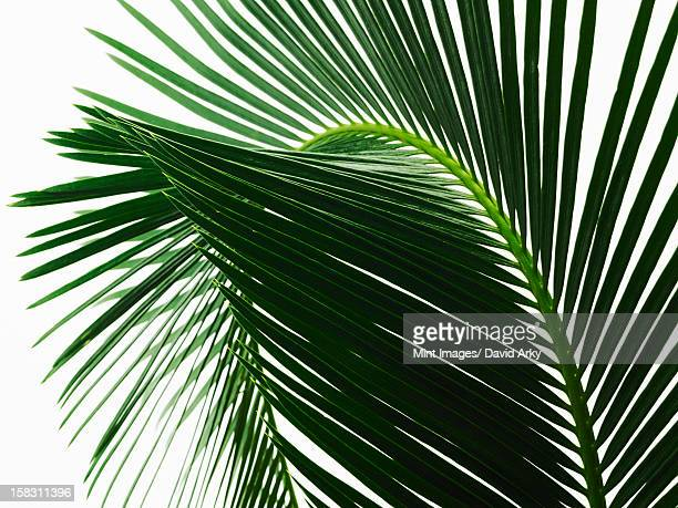 ilustraciones, imágenes clip art, dibujos animados e iconos de stock de a glossy green palm leaf in close up, with central rib and paired fronds. - hoja de palmera
