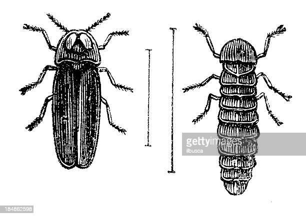 Glowworm (Lampyris Noctiluca) male and larva