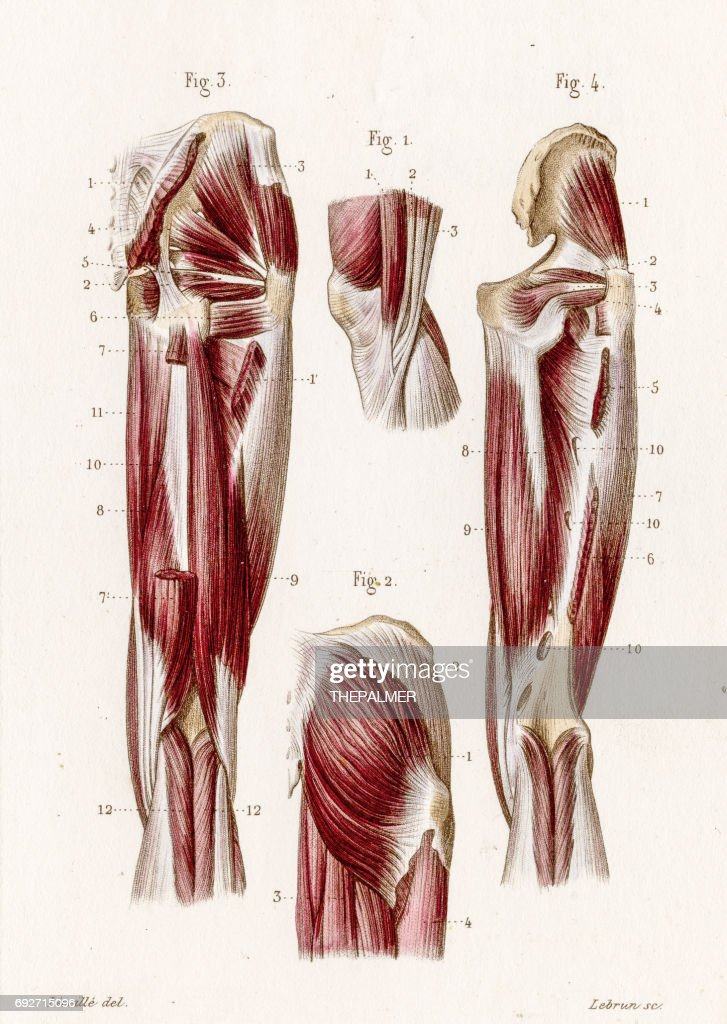 Gluteal Muscles Anatomy Engraving 1886 Stock Illustration Getty Images