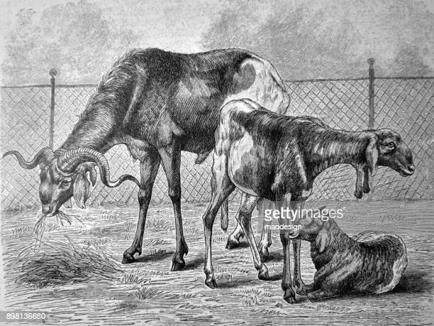 goats grazing - 1896 - 1896 stock illustrations, clip art, cartoons, & icons