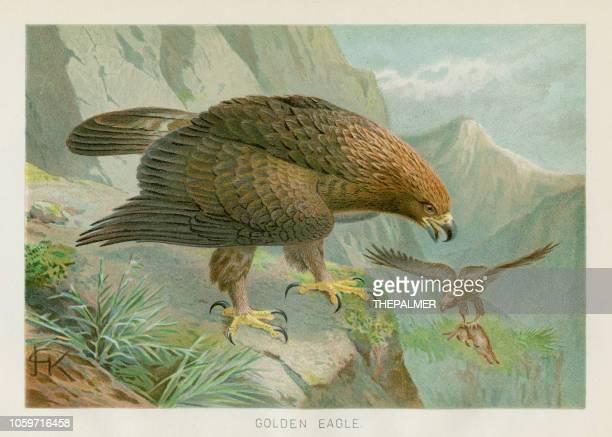 ilustrações, clipart, desenhos animados e ícones de águia dourada chromolithograph 1896 - zoologia