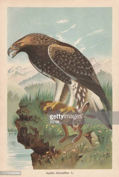 golden eagle (aquila chrysaetos), chromolithograph, published in 1896 - animals hunting stock illustrations