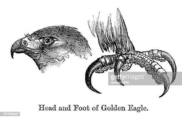 golden eagle - talon stock illustrations