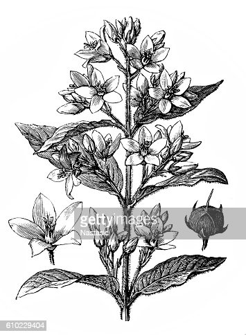 Golden Loosestrife stock illustration - Getty Images