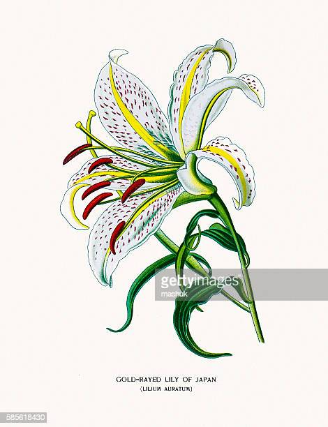 golden rayed lily of japan - lily stock illustrations, clip art, cartoons, & icons