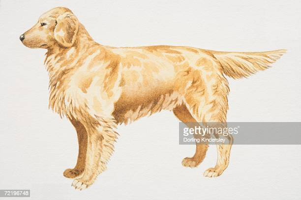 Golden Retriever (canis familiaris), side view.
