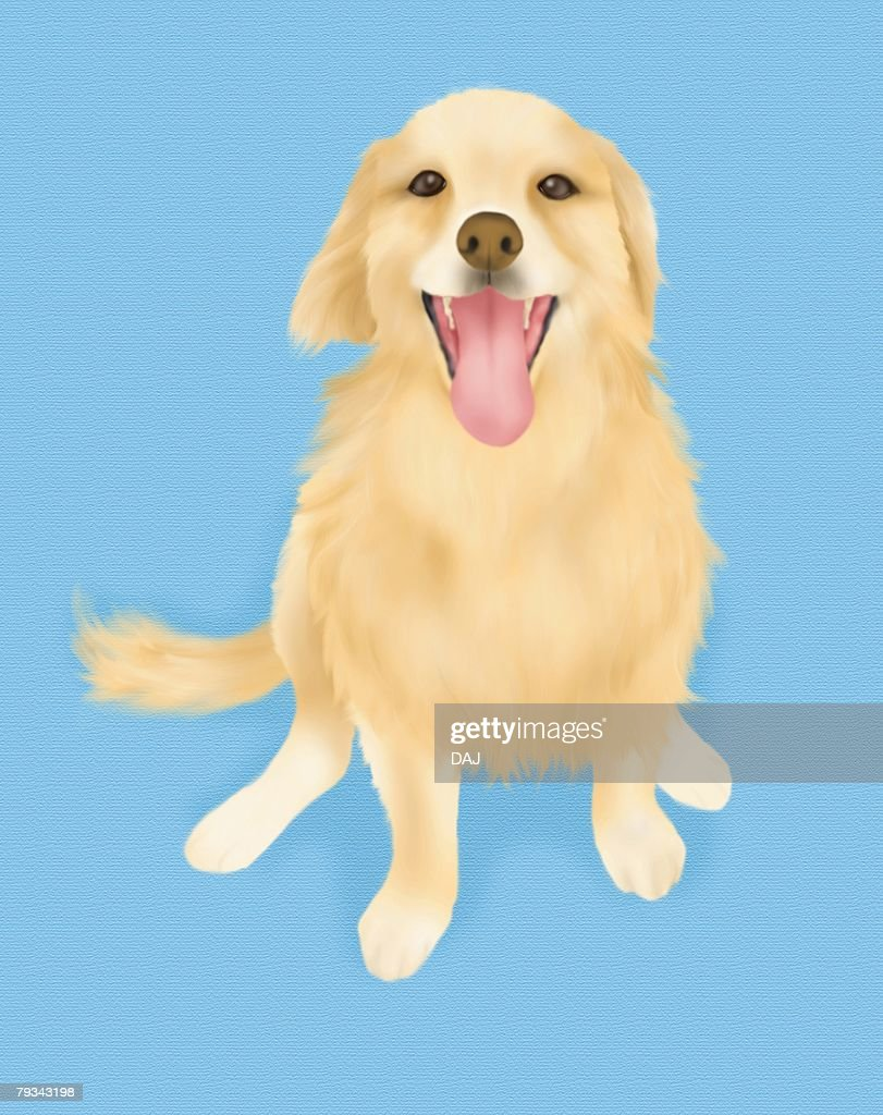 Golden Retriever sitting and looking up, high angle view, blue background : Ilustración de stock