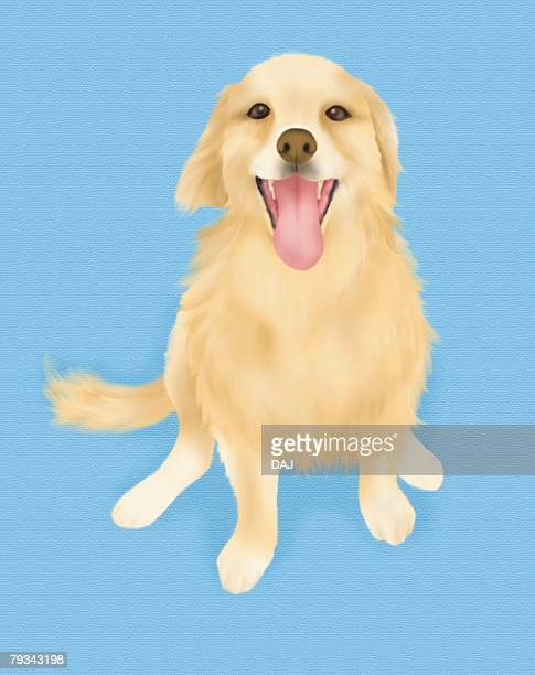 Golden Retriever sitting and looking up, high angle view, blue background