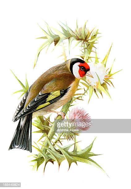 goldfinch chromolithograph - lithograph stock illustrations