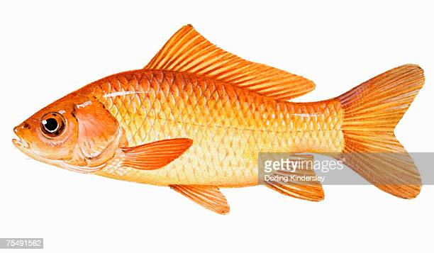 illustrations, cliparts, dessins animés et icônes de goldfish (carassius auratus), member of carp family - poisson rouge