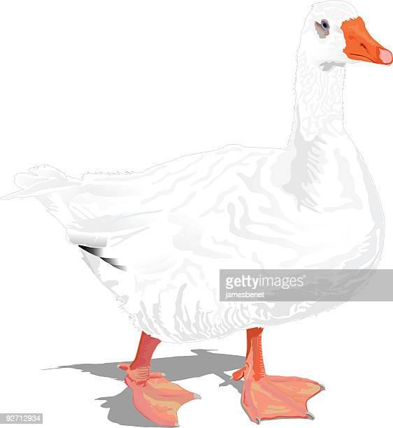 ilustrações, clipart, desenhos animados e ícones de goose (vector - organismo aquático