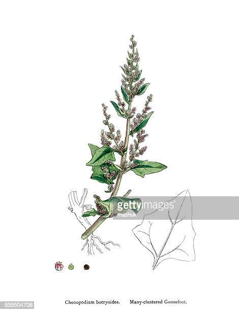 goosefoots grasses with edible seeds closely related to quinoa - quinoa stock illustrations