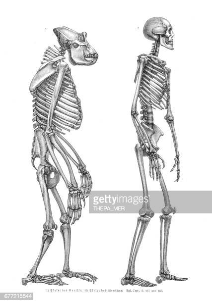 Gorilla och man skelettet gravyr 1857