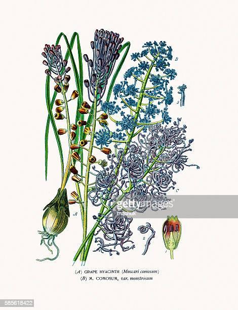 grape hyacinth houseplant - plant bulb stock illustrations, clip art, cartoons, & icons