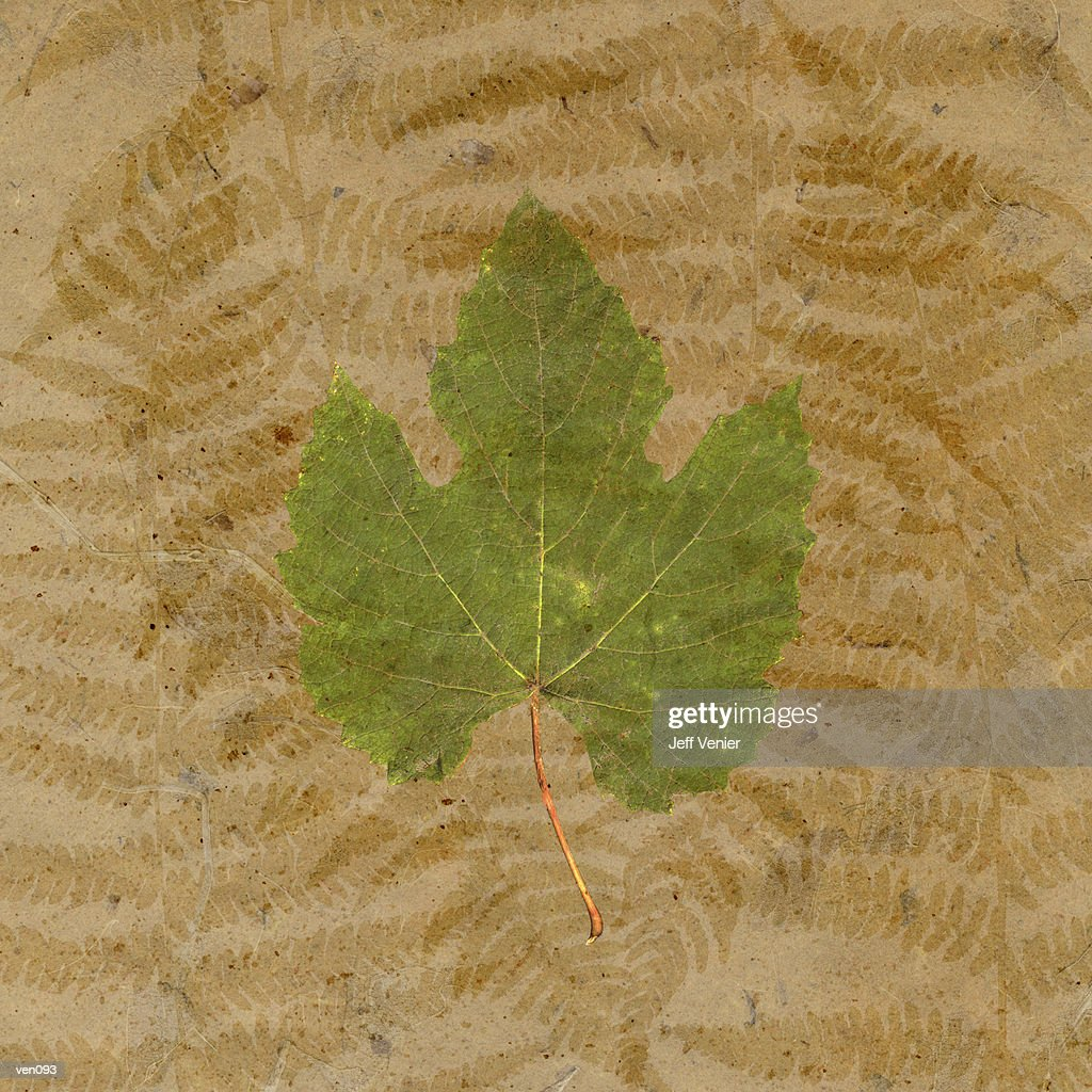 Grape Leaf on Fern Background : Stock Illustration