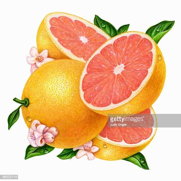 grapefrut-pink square - 新鮮点のイラスト素材/クリップアート素材/マンガ素材/アイコン素材