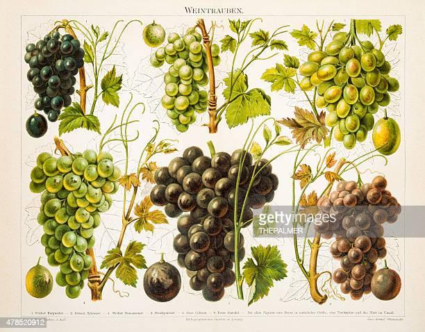 grapes antique chromolithograph 1897 - grape stock illustrations, clip art, cartoons, & icons