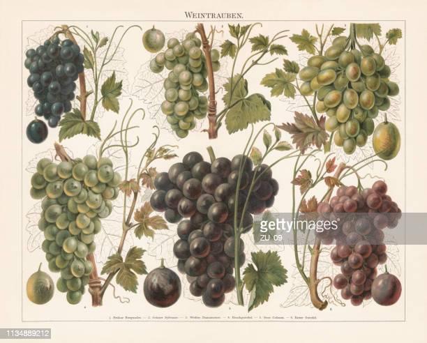 trauben, chromolithographie, erschienen 1897 - botanik stock-grafiken, -clipart, -cartoons und -symbole