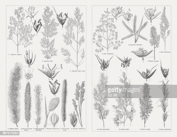 grasses, wood engravings, published in 1897 - millet stock illustrations