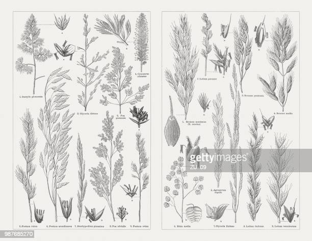 Grasses, wood engravings, published in 1897