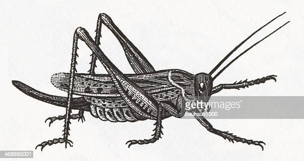 illustrations, cliparts, dessins animés et icônes de sauterelle objet gravé - cigale