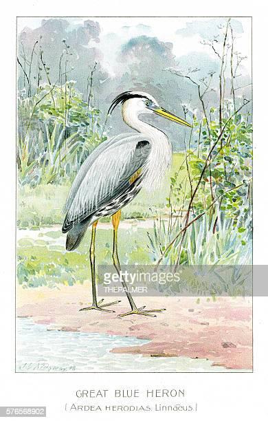 great blue heron illustration 1897 - scavenging stock illustrations