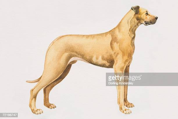 Great Dane (canis familiaris), side view.