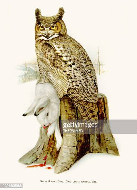 Great horned owl birds lithograph 1897