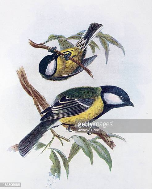 great tit illustration - bird stock illustrations