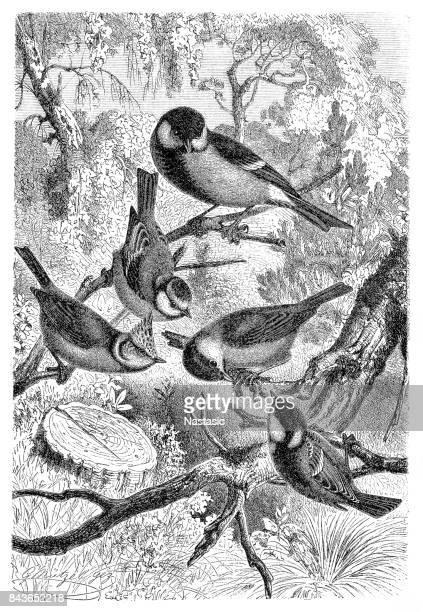 Great tit, Parus major, Eurasian blue tit, Cyanistes caeruleus, European crested tit, Lophophanes cristatus, marsh tit, Poecile