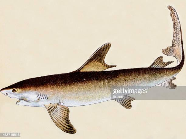 great white shark, fish animals antique illustration - great white shark stock illustrations, clip art, cartoons, & icons