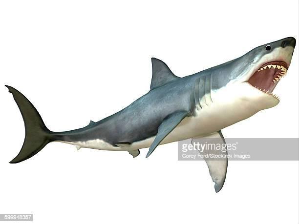 illustrations, cliparts, dessins animés et icônes de great white shark - requin