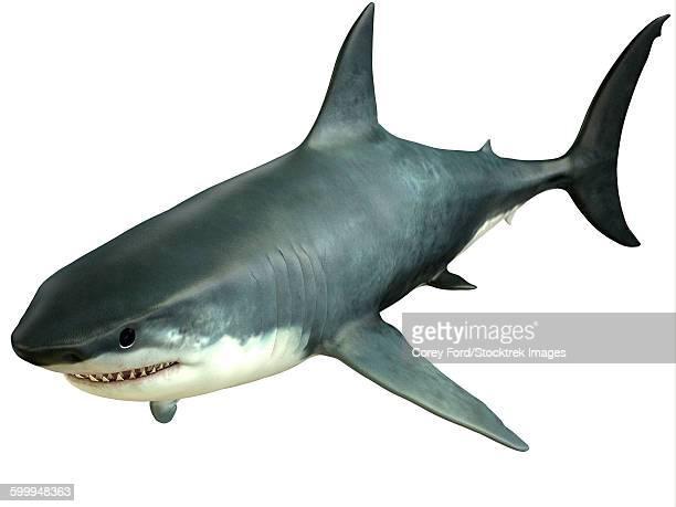 60 Top Great White Shark Stock Illustrations, Clip art ...