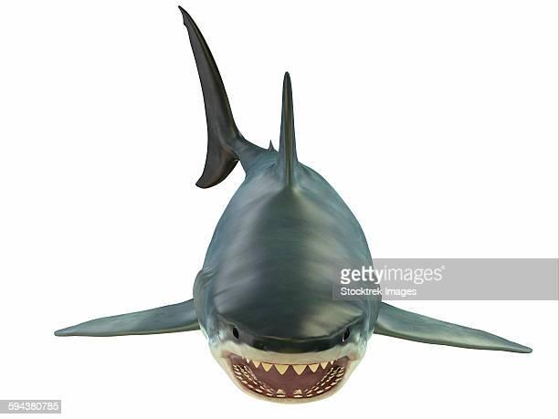 Great white shark illustration, white background.