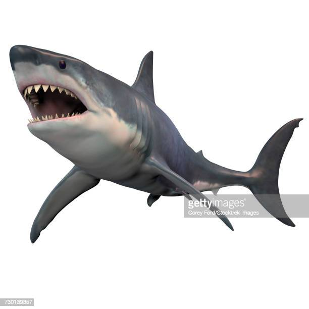 ilustrações, clipart, desenhos animados e ícones de great white shark isolated on white background. - organismo aquático