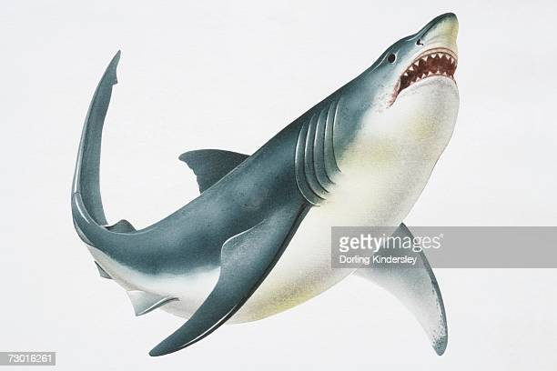 great white shark (carcharodon carcharias) showing its teeth, low angle view. - great white shark stock illustrations, clip art, cartoons, & icons