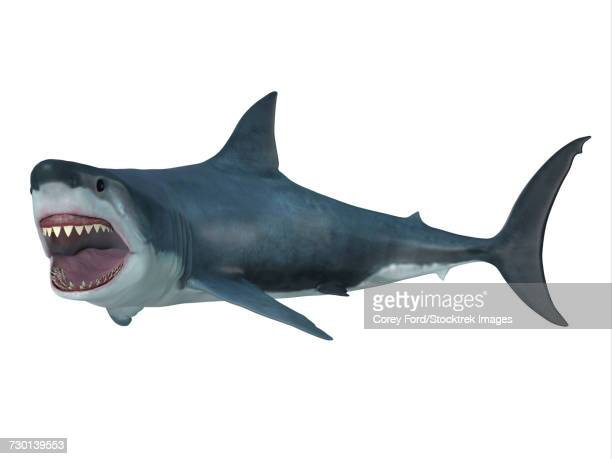 Illustrations et dessins anim s de grand requin blanc - Coloriage grand requin blanc ...