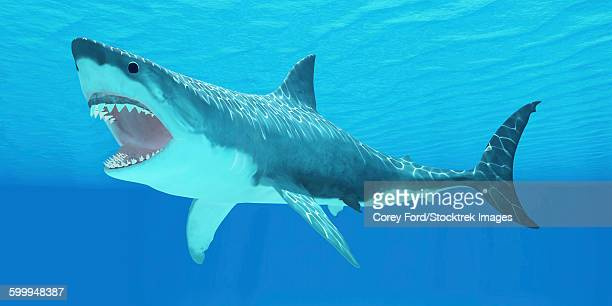 great white shark swimming underwater. - great white shark stock illustrations, clip art, cartoons, & icons