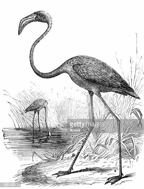 greater flamingo (phoenicopterus roseus) - flamingo stock illustrations, clip art, cartoons, & icons