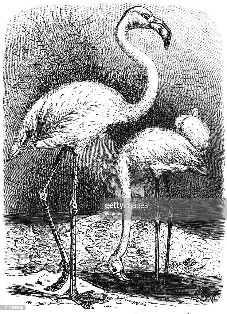 Greater Flamingo (Phoenicopterus Roseus) : stock illustration