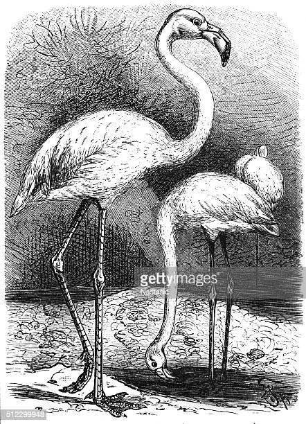 greater flamingo (phoenicopterus roseus) - flamingo stock illustrations, clip art, cartoons, & icons