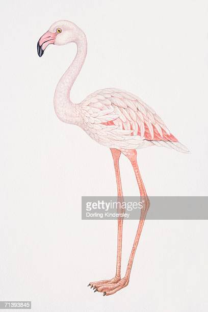 greater flamingo, phoenicopterus ruber, side view. - flamingo stock illustrations, clip art, cartoons, & icons