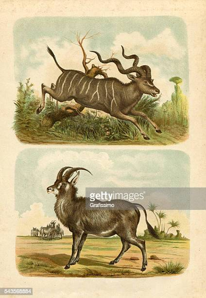 greater kudu and extinct bluebuck engraving 1880 - kudu stock illustrations, clip art, cartoons, & icons
