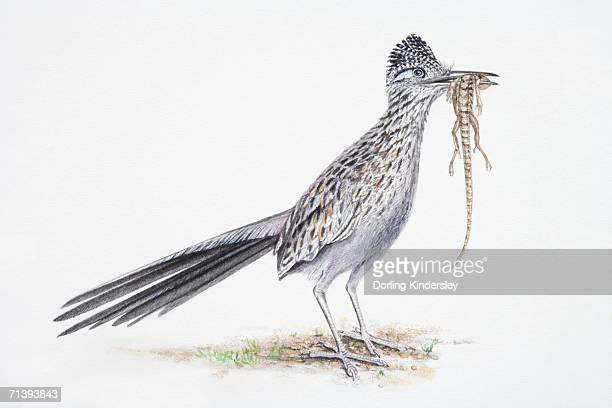 ilustraciones, imágenes clip art, dibujos animados e iconos de stock de greater roadrunner, geococcyx californianus, bird eating lizard. - correcaminos