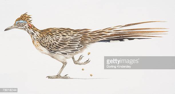 ilustraciones, imágenes clip art, dibujos animados e iconos de stock de greater roadrunner (geococcyx californianus), side view of bird with long tail feathers, one foot lifted. - correcaminos